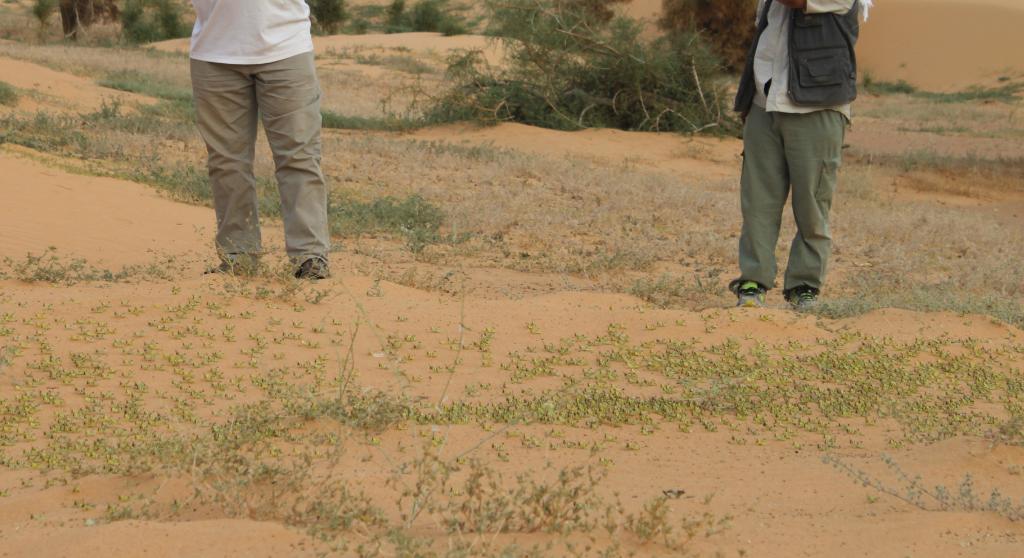 Larves du criquet pélerin dans le désert nigérien