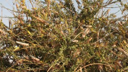 Larves et adultes du criquet pélerin perchés sur un arbre